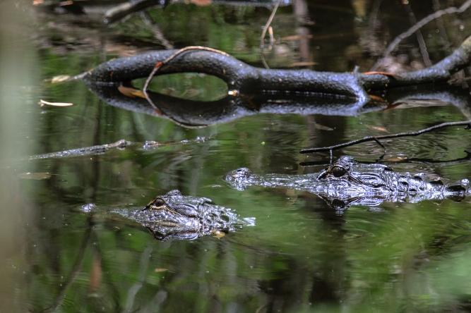 American Alligator (2)(5)