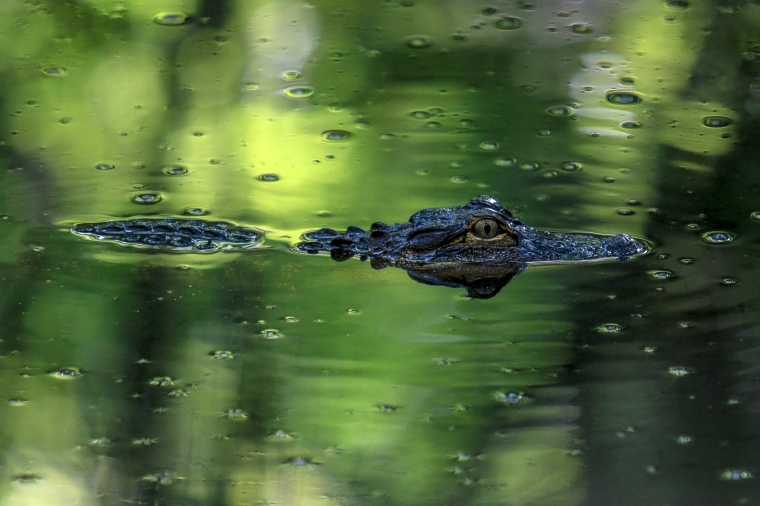 Juvenile American Alligator (1)
