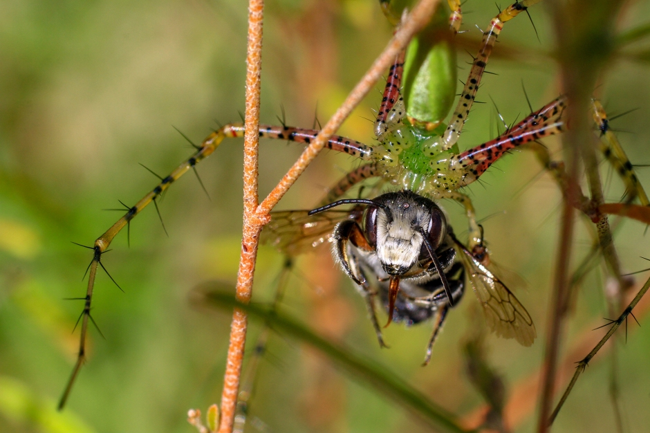 Green Lynx Spider with bee | August 27 | Alice Mary Herden
