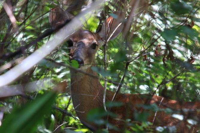 White-tailed deer.jpg