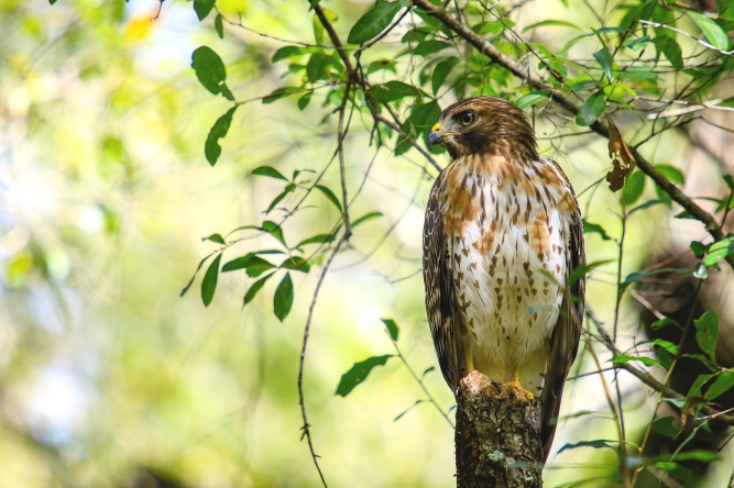Broad-Winged Hawk 2_Lettuce Lake