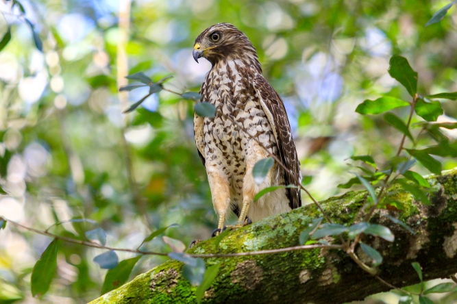Broad-Winged Hawk_Tampa