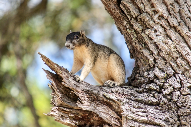 Sherman Fox Squirrel 2