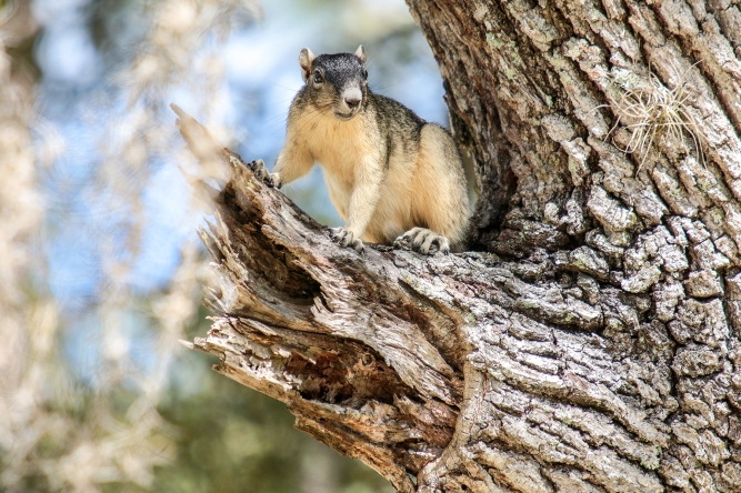 Sherman Fox Squirrel 3