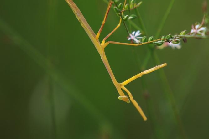 !Yellow Praying Mantis 2