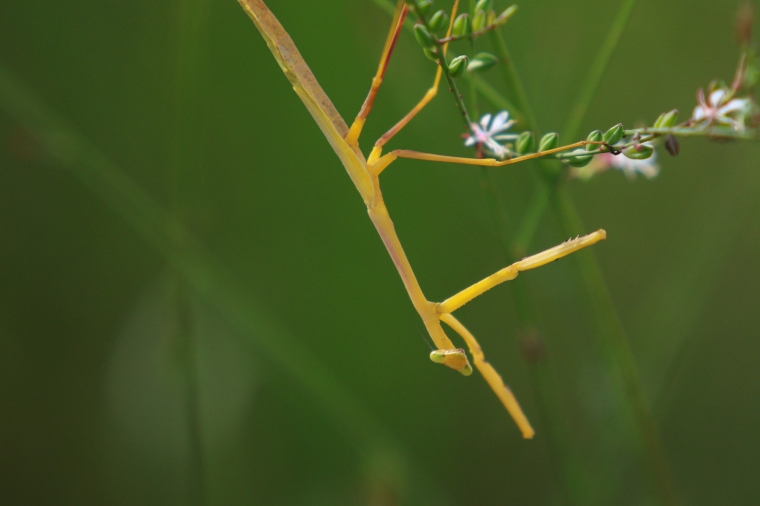 !Yellow Praying Mantis 2
