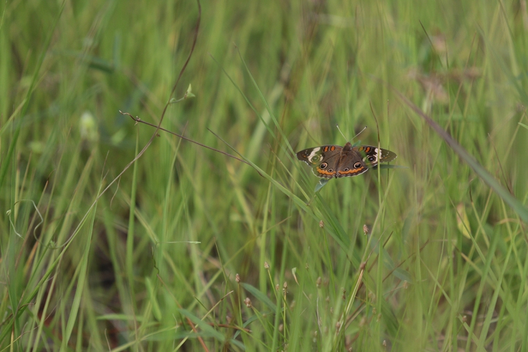 !Common Buckeye.jpg