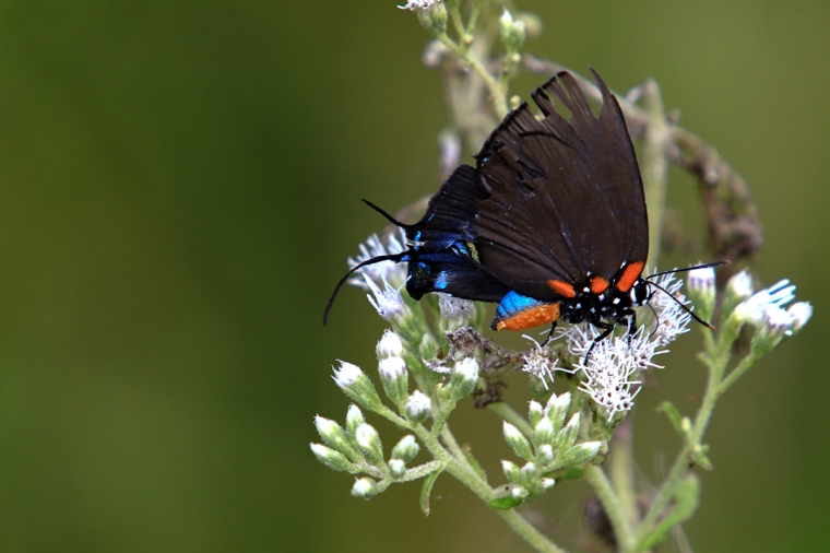 Great Purple Hairstreak.jpg