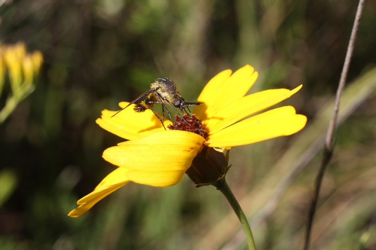 Hunchback bee fly