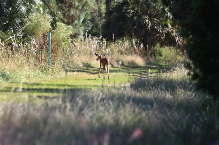Piebald Deer 2.jpg