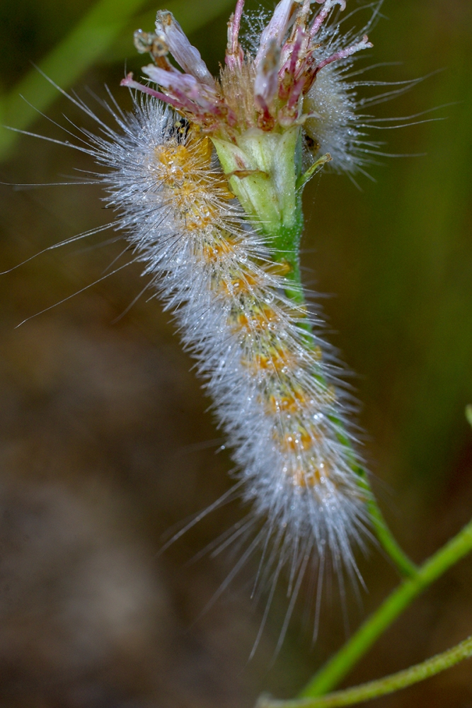 Salt Marsh Caterpillar-10-17 V.jpg