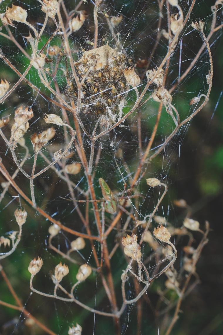 Green Lynx Spider Babies 2