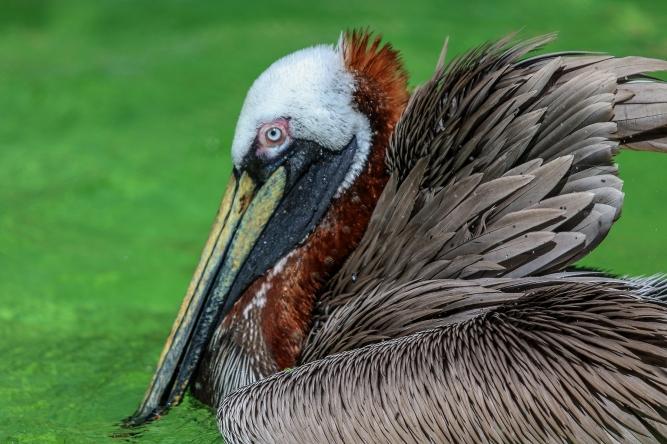 !Brown Pelican 4.jpg