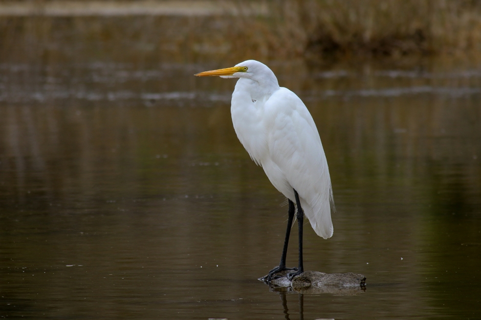 Great Egret | Alice Mary Herden