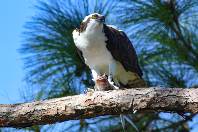 !osprey