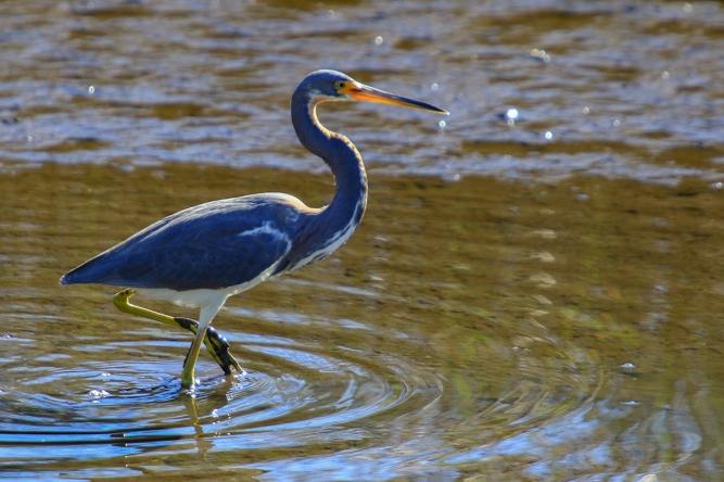 !Tricolored Heron 2.jpg