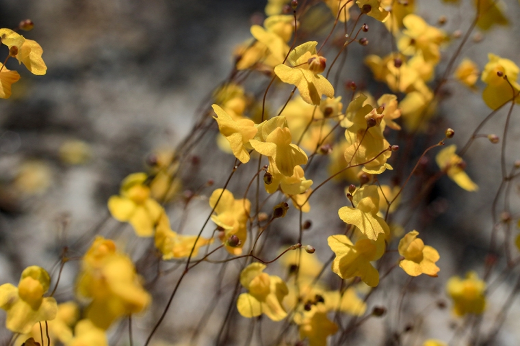 Zigzag Bladderwort | February 25 | Alice Mary Herden