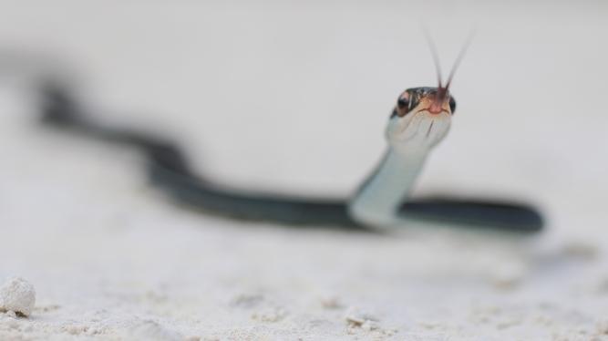 Bluestripe Ribbon Snake | March 11 | Alice Mary Herden