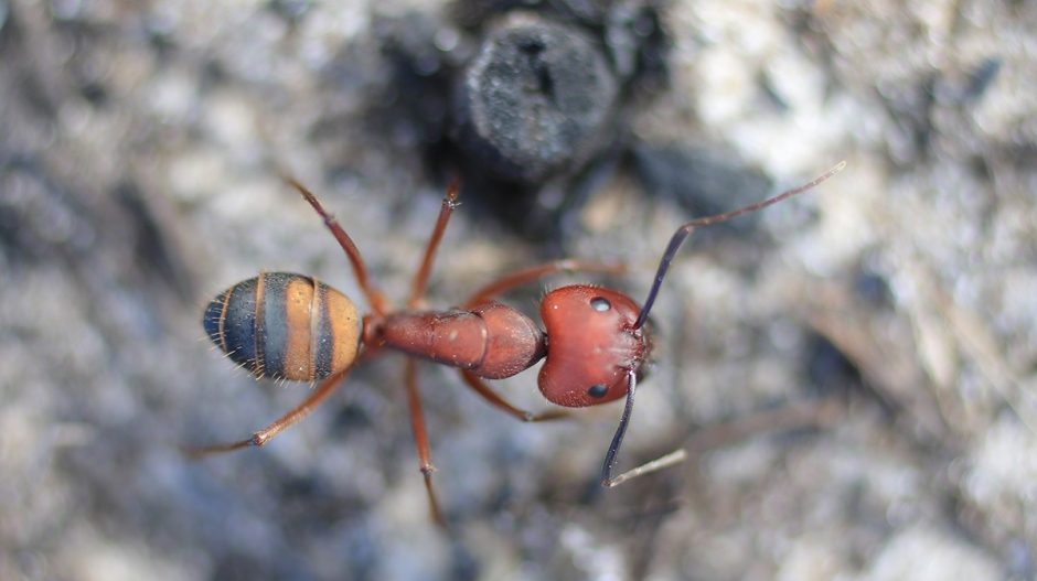 Camponotus socius | March 20 | Alice Mary Herden