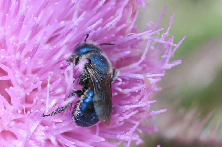 Blue Metallic Mason Bee 3