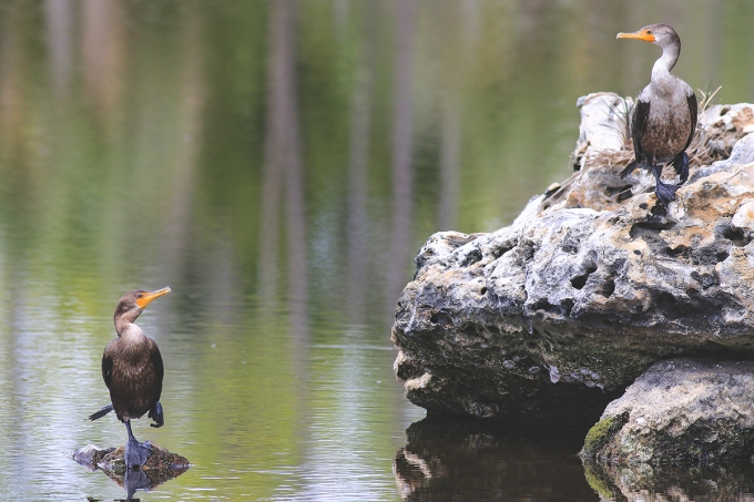 Double Crested Cormorant   March 14   Alice Mary Herden