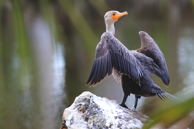 Double-Crested Cormorant | March 14 | Alice Mary Herden