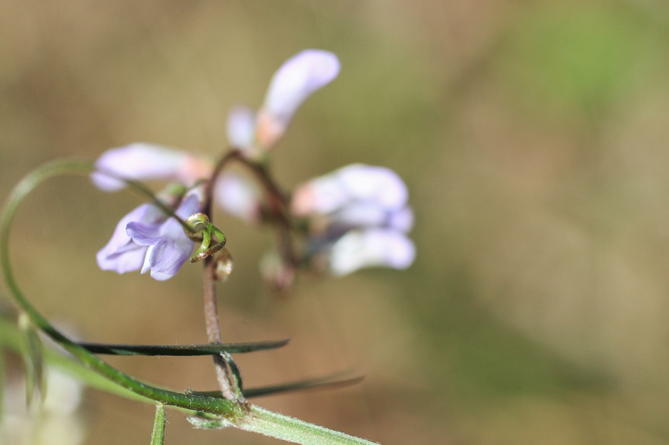 Fourleaf Vetch | February 28 | Alice Mary Herden