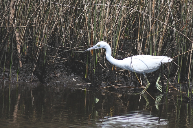 Little Blue Heron ( Juvenile) | March 14 | Alice Mary Herden
