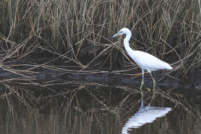 Little Blue Heron ( Juvenile)   March 14   Alice Mary Herden