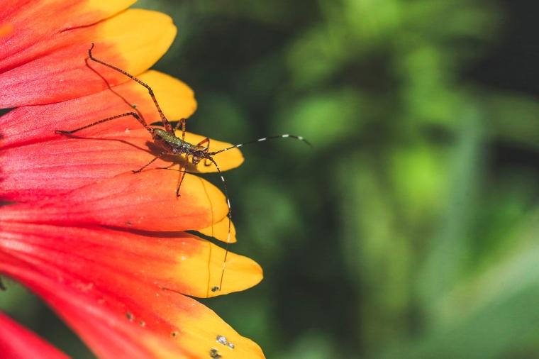 Longhorned Grasshopper Nymph 3
