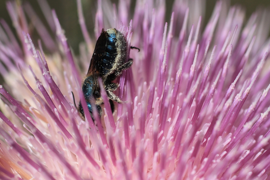 Metallic Blue Sweat Bee | February 28 | Alice Mary Herden