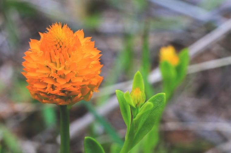 Orange Milkwort   March 12   Alice Mary Herden