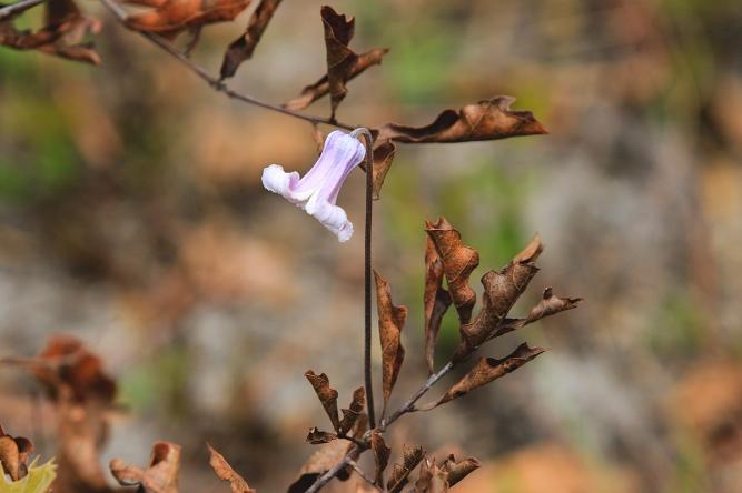 pine hyacinth 5