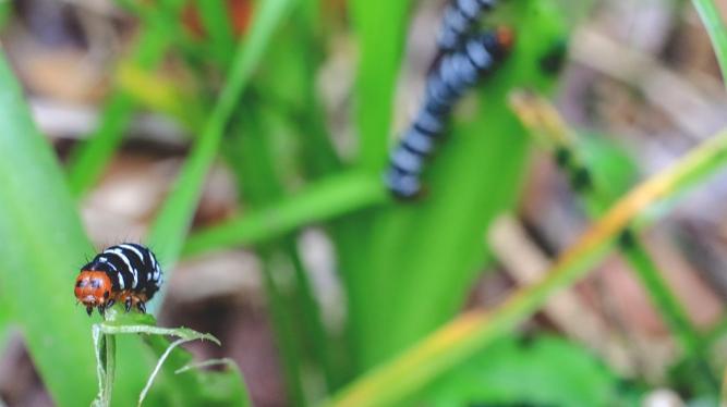 Spanish Moth Caterpillar | March 12 | Alice Mary Herden