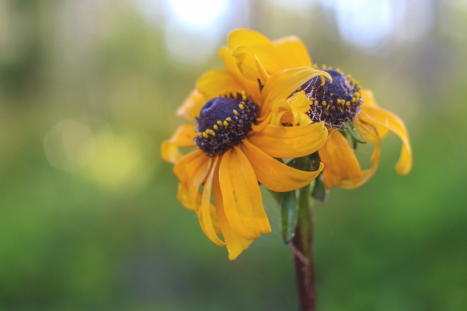 Black-eyed Susan | Alice Mary Herden | April 16
