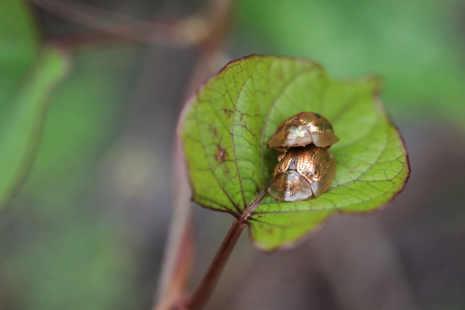 Golden Tortoise Beetle | Alice Mary Herden | April 8
