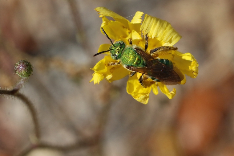 Brown-winged Striped Sweat Bee | Alice Mary Herden | April 15
