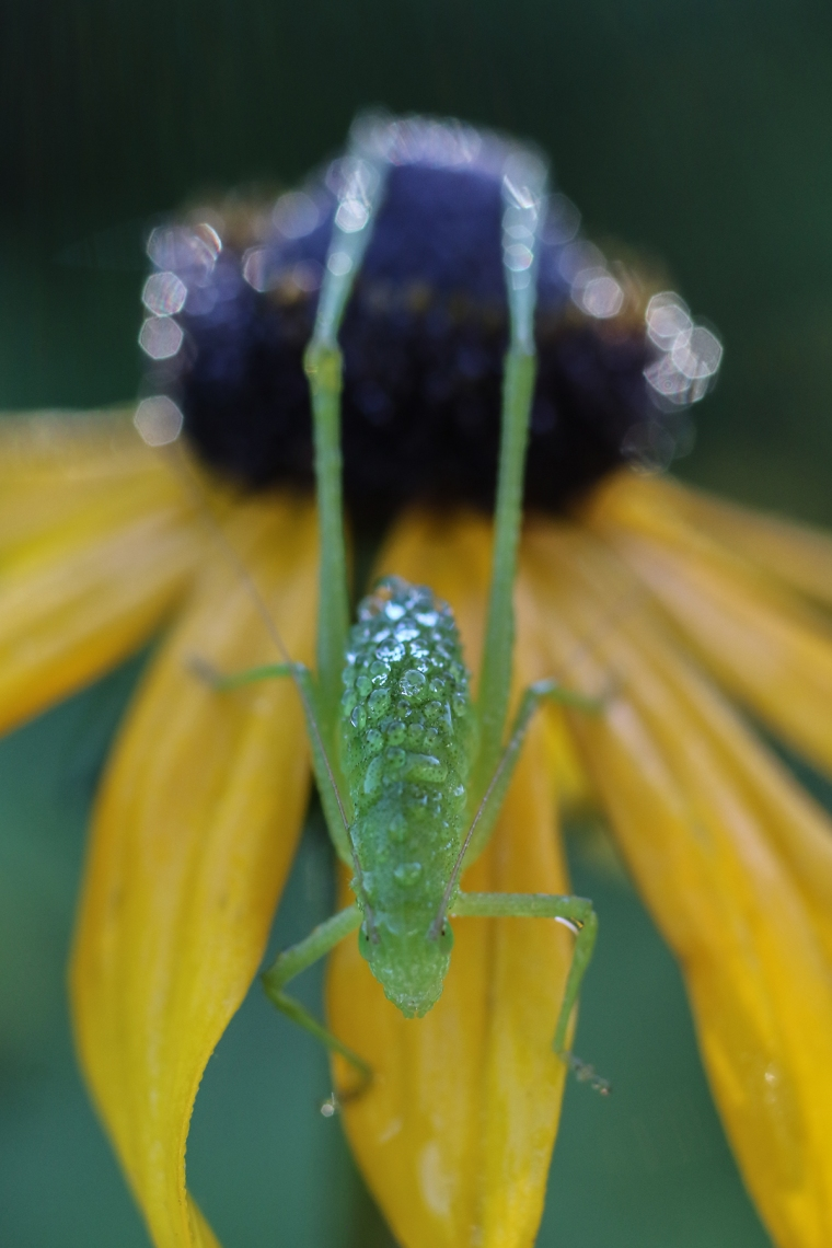 Florida False Katydid | Alice Mary Herden | April 16