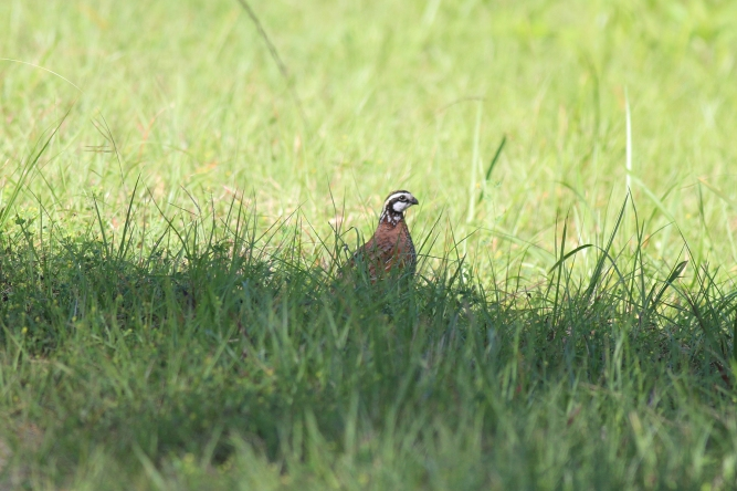 Northern BobWhite Quail  | Alice Mary Herden | April 15