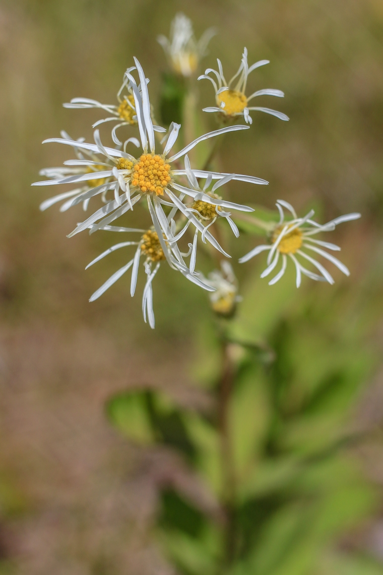 Pinebarren Aster | Alice Mary Herden | April 11