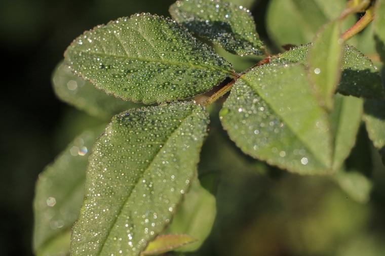 Swamp Rose Leaves | Alice Mary Herden | April 16