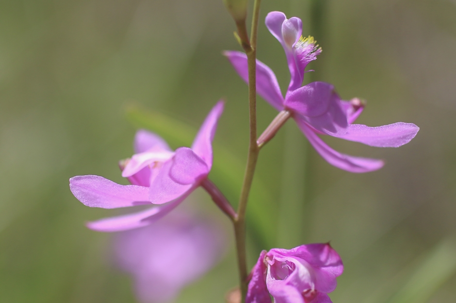 Grass Pink Orchid | May 7 | Alice Mary Herden