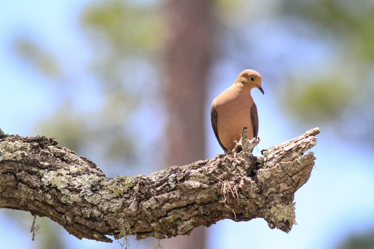 Mourning Dove | May 7 | Alice Mary Herden