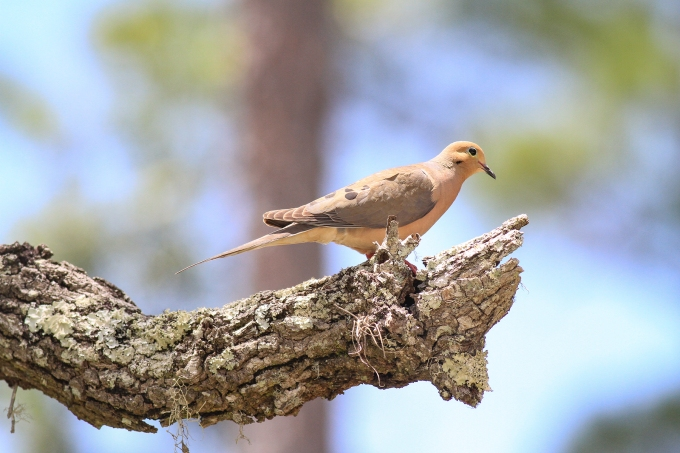 Mourning Dove   May 7   Alice Mary Herden