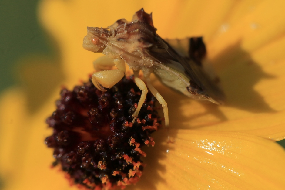 Jagged Ambush Bug | June 28 | Alice Mary Herden