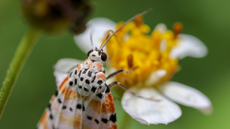Ornate Bella Moth | June 19 | Alice Mary Herden