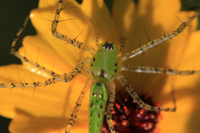 Green Lynx Spider | June 28 | Alice Mary Herden