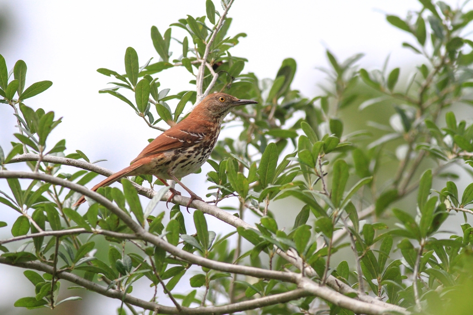 Brown Thrasher | June 19 | Alice Mary Herden