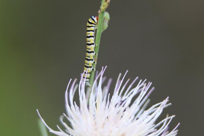 Clouded Crimson Moth Caterpillar | June 10 | Alice Mary Herden