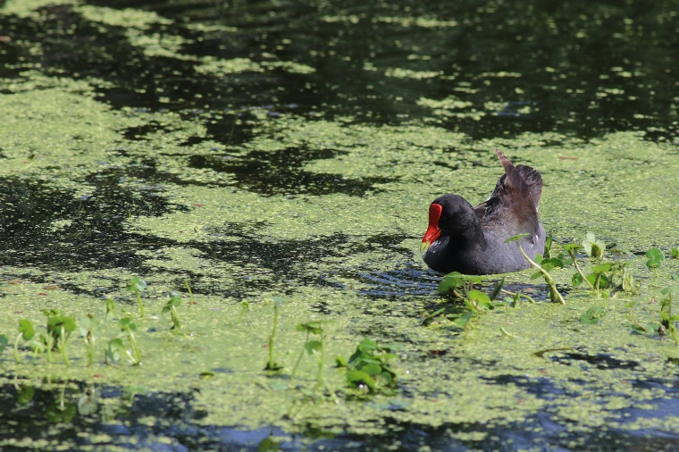 Common Gallinule | June 21 | Alice Mary Herden